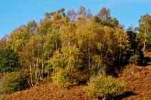 http://www.gelstoncastle.com/images/autumnbirch2.sm.jpg