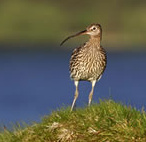 http://www.gelstoncastle.com/images/curlew.jpg
