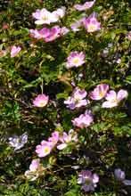 http://www.gelstoncastle.com/images/floradogrose2.sm.jpg